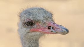 南非驼鸟特写镜头 图库摄影