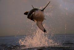 南非,开普敦,飞行的鲨鱼 免版税库存照片