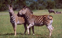 南非:两匹斑马在赫卢钦野生生物的原野 库存照片