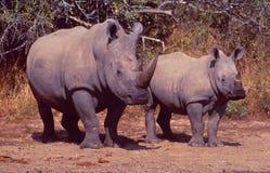 南非:两危及了犀牛、母亲和孩子在公共汽车上 免版税库存照片