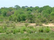 南非- 2011年11月7日:在早晨比赛推进徒步旅行队的长颈鹿在克留格尔国家公园 免版税库存照片