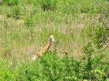 南非- 2011年11月7日:在早晨比赛推进徒步旅行队的长颈鹿在克留格尔国家公园 库存照片