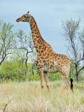南非- 2011年11月7日:在早晨比赛推进徒步旅行队的长颈鹿在克留格尔国家公园 免版税图库摄影