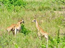 南非- 2011年11月7日:在早晨比赛推进徒步旅行队的长颈鹿在克留格尔国家公园 库存图片