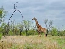 南非- 2011年11月7日:在早晨比赛推进徒步旅行队的长颈鹿在克留格尔国家公园 图库摄影