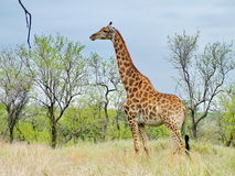 南非- 2011年11月7日:在早晨比赛推进徒步旅行队的长颈鹿在克留格尔国家公园 免版税库存图片
