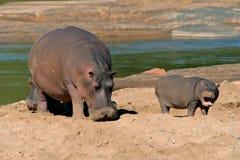 南非洲河马kruger的国家公园 免版税库存照片