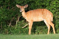 南非洲的林羚 图库摄影