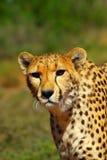 南非洲的猎豹 库存图片