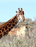 南非洲的长颈鹿 免版税图库摄影