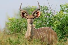 南非洲羚羊kruger kudu的国家公园 免版税库存照片