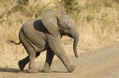 南非洲非洲婴孩的大象 免版税库存图片