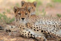 南非洲预警猎豹kruger的国家公园 免版税库存图片