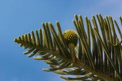 南洋杉针和锥体 免版税库存照片