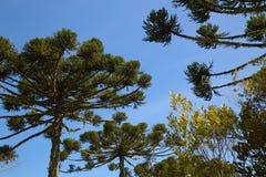 南洋杉-从巴西的本地植物 免版税库存图片