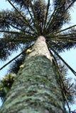 南洋杉Angustifolia (巴西杉木) 免版税库存图片