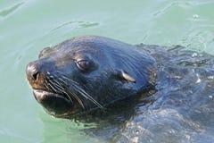 南1条非洲海角的海狗 免版税库存照片