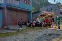 博克拉,尼泊尔, 2017年9月04日:在博克拉看管照料山羊群,去小镇,尼泊尔 免版税图库摄影