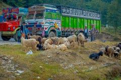 博克拉,尼泊尔, 2017年9月04日:山羊群,去沿街道,当有些卡车停放在街道  库存照片