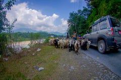 博克拉,尼泊尔, 2017年9月04日:牧羊人照料山羊群,去沿有停放的有些汽车的街道 库存图片