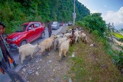 博克拉,尼泊尔, 2017年9月04日:牧羊人照料山羊群,去沿有停放的有些汽车的街道 免版税库存图片