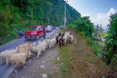 博克拉,尼泊尔, 2017年9月04日:牧羊人照料山羊群,去沿有停放的有些汽车的街道 免版税库存照片