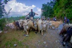 博克拉,尼泊尔, 2017年9月04日:牧羊人照料山羊群,参加沿小镇街道  库存照片