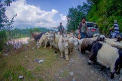 博克拉,尼泊尔, 2017年9月04日:牧羊人照料山羊群,参加沿小镇街道  免版税库存照片