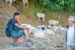 博克拉,尼泊尔, 2017年9月04日:牧羊人照料山羊群,参加沿小镇街道  免版税图库摄影