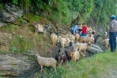博克拉,尼泊尔, 2017年9月04日:看管照料山羊群,参加沿小镇街道  图库摄影