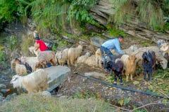 博克拉,尼泊尔, 2017年9月04日:看管照料山羊群,参加沿小镇街道  免版税库存照片