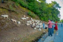 博克拉,尼泊尔, 2017年9月04日:看管照料山羊群,参加沿小镇街道  免版税库存图片