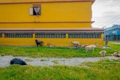 博克拉,尼泊尔- 2017年10月06日:休息和走在一绿地围拢的室外观点的许多山羊房子 免版税库存照片