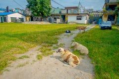 博克拉,尼泊尔- 2017年10月06日:休息在一个公园的室外观点的许多山羊在镇在塔石难民 免版税图库摄影