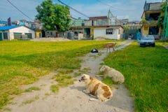博克拉,尼泊尔- 2017年10月06日:休息在一个公园的室外观点的许多山羊在镇在塔石难民 图库摄影