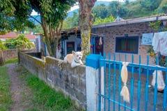 博克拉,尼泊尔- 2017年10月06日:休息在房子篱芭的墙壁的室外观点的一条小白色狗,位于尼泊尔 免版税库存图片