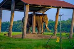 博克拉,尼泊尔- 2017年11月04日:在一个结构下的被束缚的大象在户外,在Chitwan国家公园,尼泊尔 图库摄影