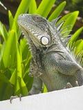 博内尔岛绿色鬣鳞蜥 免版税图库摄影