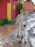 博内尔岛野生驴 免版税库存照片