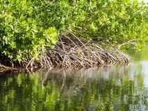 博内尔岛-美洲红树反射 免版税图库摄影