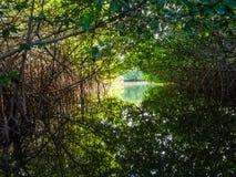 博内尔岛-美洲红树 库存图片