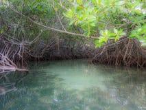 博内尔岛-美洲红树 免版税库存图片