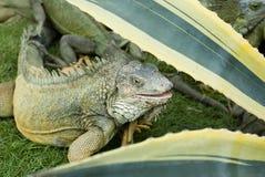 博利瓦厄瓜多尔瓜亚基尔鬣鳞蜥公园 库存图片