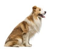 博德牧羊犬、1.5岁,开会和气喘的侧视图 免版税库存照片