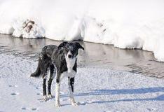 博德牧羊犬冻结的河 免版税库存照片