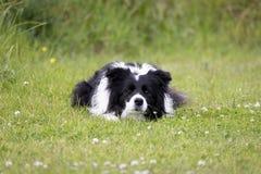 博德牧羊犬凝视 免版税库存图片