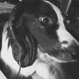 博德牧羊犬听耳机 免版税库存照片