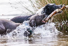 博德牧羊犬和一年轻pitbull在棍子 库存图片