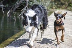 博德牧羊犬和短毛猎犬本质上 库存图片