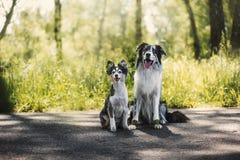 博德牧羊犬和设德蓝群岛牧羊犬 库存照片